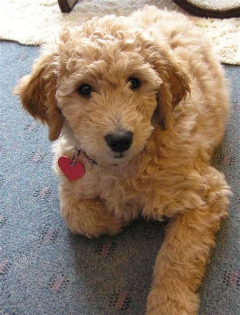 cheap goldendoodle puppies for sale the goldendoodle puppies daily puppy