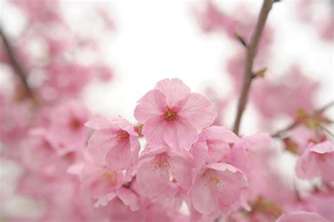 sfondi fiori di ciliegio sfondi fiorire rosa fiore di ciliegio primavera
