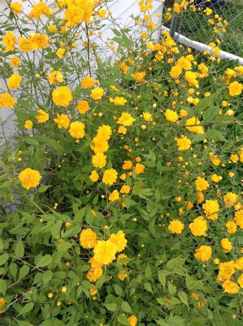yellow like flower shrub help identify these flowering shrubs