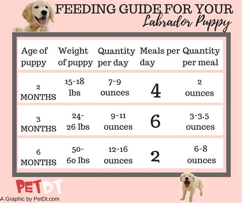 what time should i feed my puppy labrador diet plan