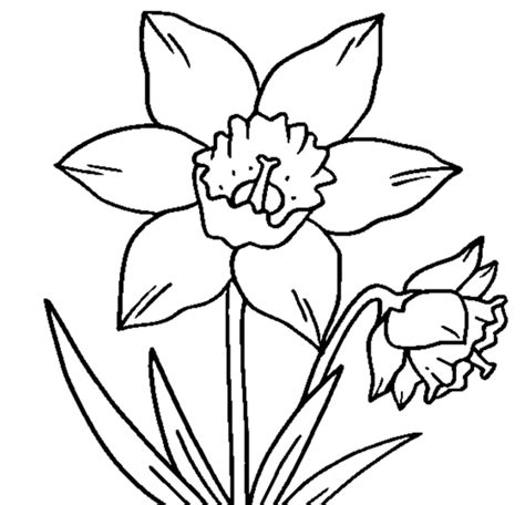 coloring pages daffodil flowers drawings of daffodils cliparts co
