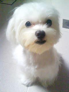 why has my maltese terrier got thin hair for my butter short hair