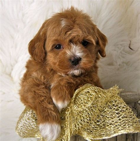 buzzfeed puppy top 10 cutest and most popular mixed breeds you ll to own