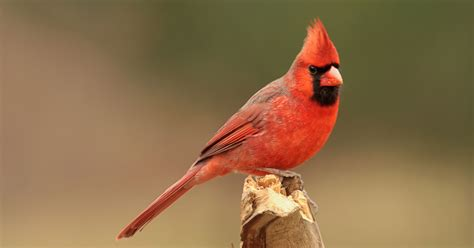 featured birds northern cardinals