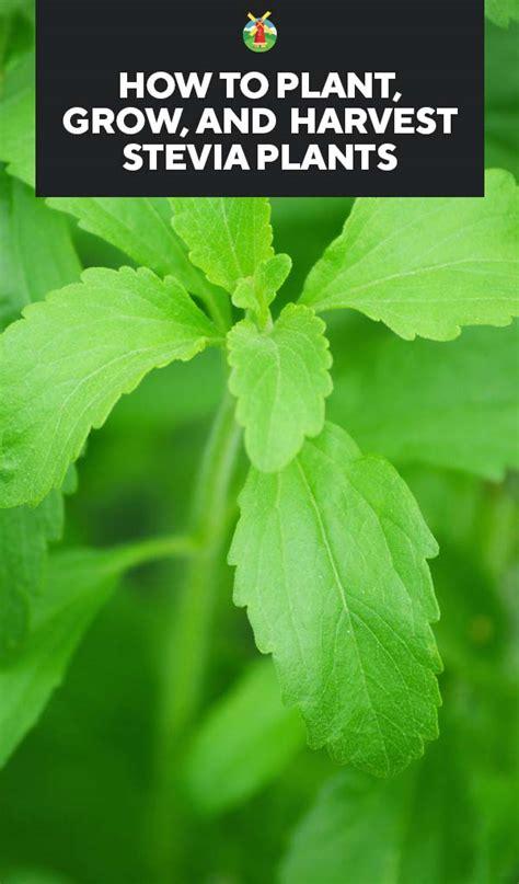 Home Decor Plants Growing Stevia How To Plant Grow And Harvest Stevia