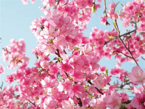 cherry blossom image what are different types of flowering trees with pictures