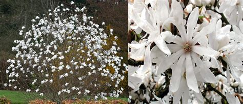 imagenes de magnolias blancas embellecer el jard 237 n con magnolias las diferentes