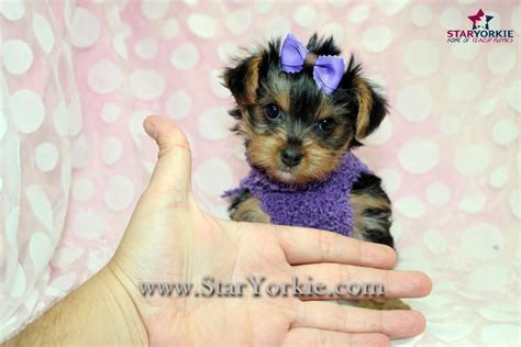 free puppies sacramento ca yorkie yorkie puppies yorkie breeder teacup yorkie puppies yorkie puppy la teacup