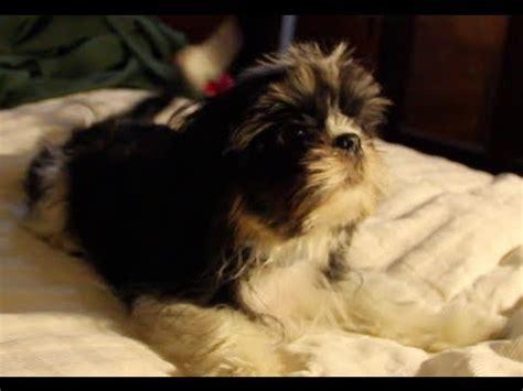 how to shih tzu not to bark shih tzu puppy barking