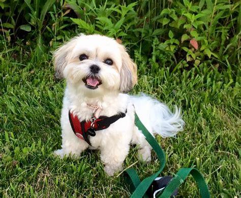 teddy puppys teddy puppies for sale shichon puppies zuchon puppies