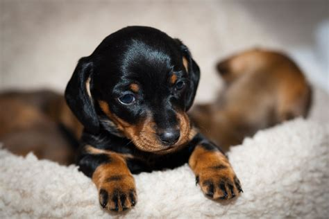 black puppy dachshund my rocks