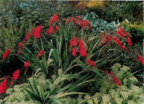 hardy perennials crocosmia