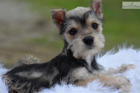 miniature schnauzer puppies for sale near me schnauzer miniature puppy for sale near dallas fort worth 4eb078a8 3221