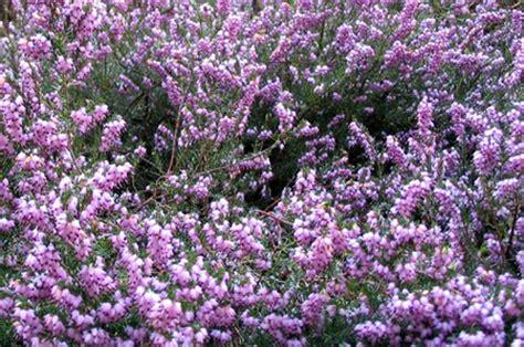 fiore erica erica fiore perenne