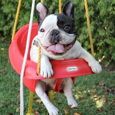 bulldog in a swing batpig and me the life times and adventures of a batpig