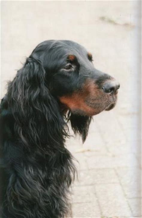 gordon setter dog temperament thousands of ideas about my favorite dogs and dog socks on