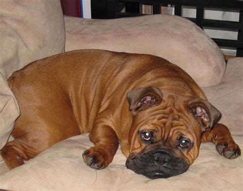 English Boston Bulldog Information, Pictures, Reviews and ...