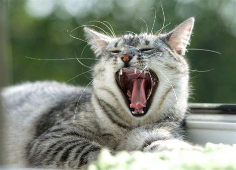 old cat disease gum disease in cats petmd