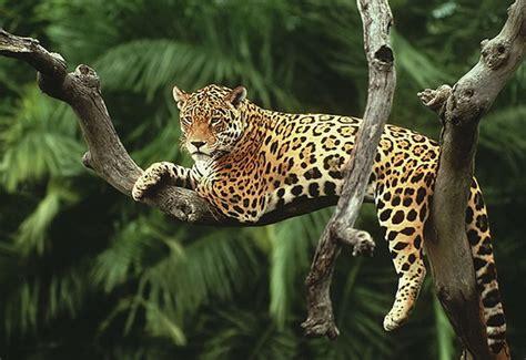 imagenes jaguares selva enciclopedia animal animales de la selva jaguar