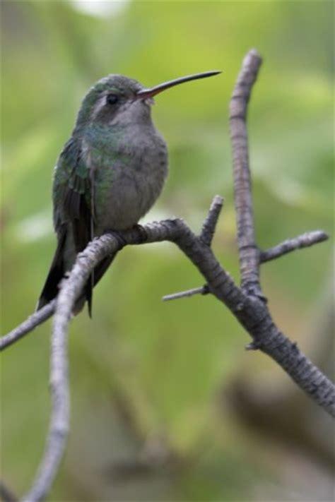 astounding nature arizona holds the hummingbird capital