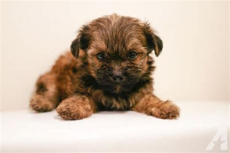 yorkie mixed with shih tzu for sale yorkie shih tzu mixed pups available for sale in glenarden maryland classified