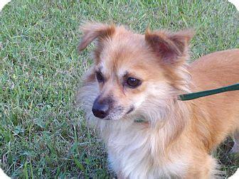 pomeranian rescue va teddy adopted puppy lepew rescue harrisonburg va pomeranian mix
