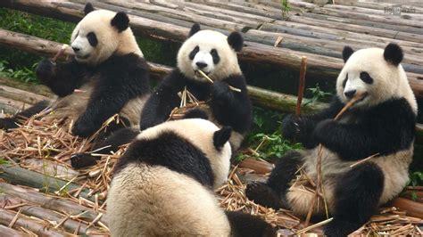 cute panda hd wallpapers tumblr pixelstalknet