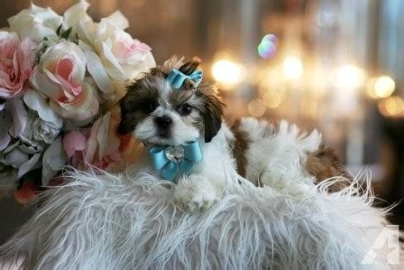 shih tzu puppies for sale in boston ma akc shih tzu princess puppy for sale in boston massachusetts classified