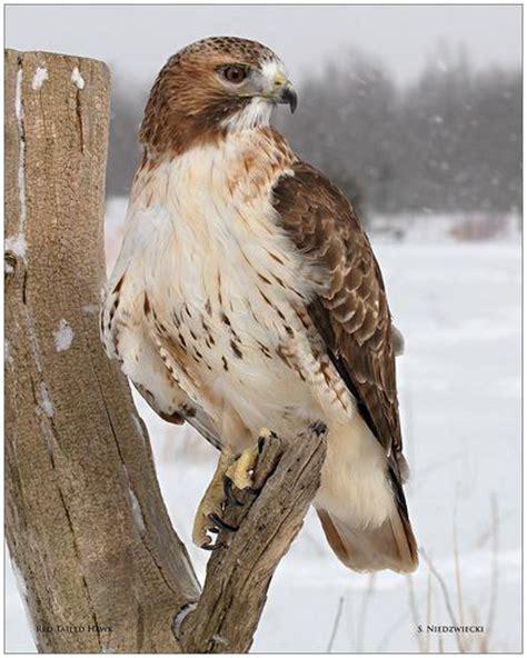 hawks winter and michigan on pinterest