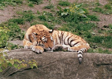 1000 images about tigers on pinterest