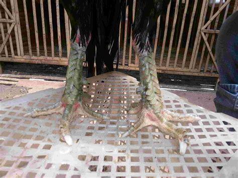 Anakan Ayam Bangkok Pakhoy anak ayam bangkok ayetarung