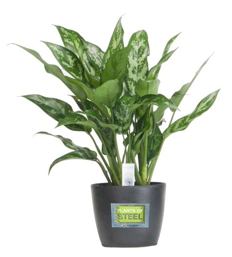 costa farms introduces durable plants  steel houseplant