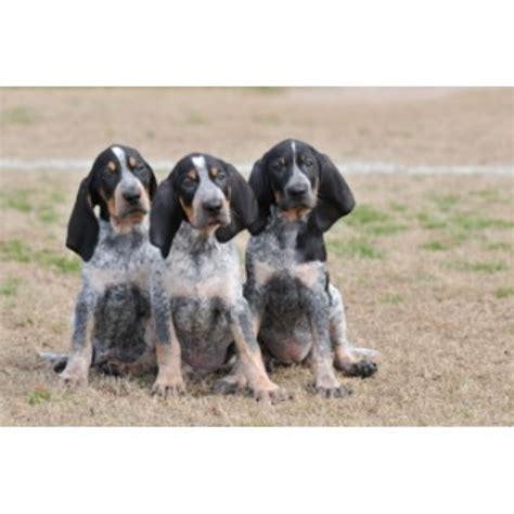 blue tick hound puppies for sale evenstar hounds bluetick coonhound breeder in ohatchee alabama