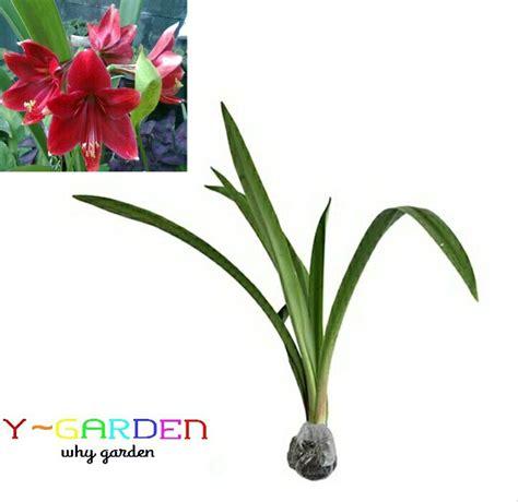 jual red amaryllis amarilis merah bibit tanaman bunga