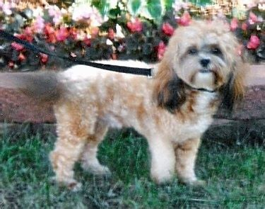 bichon shih tzu mix grown shih tzu bichon mix grown