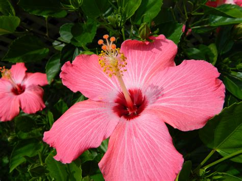 flowering tropical shrubs how to overwinter tropical hibiscus container ct