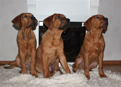 tosa inu puppies file tosa inu puppies 4months jpg wikimedia commons