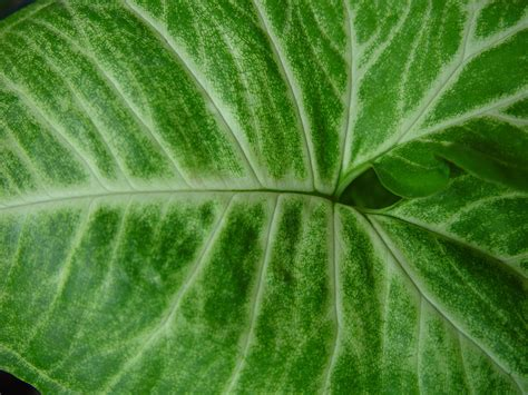 leaf pattern wiki file cream patterns on green leaf jpg wikimedia commons