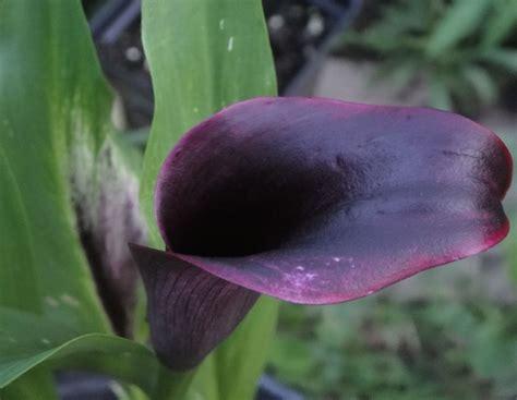 gallery of callas lilies by color black calla lilies