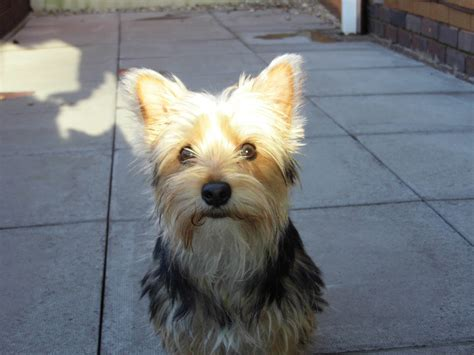 westie yorkie yorkie westie mix by boobyr00de on deviantart