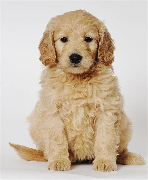 mini goldendoodle mini goldendoodles mini goldendoodle puppies