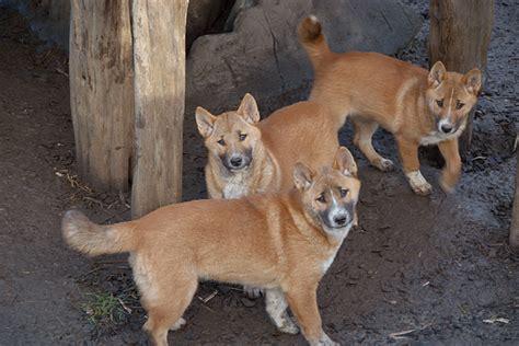 singing dogs singing www imgkid the image kid has it
