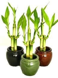 image result  bamboo plants    images