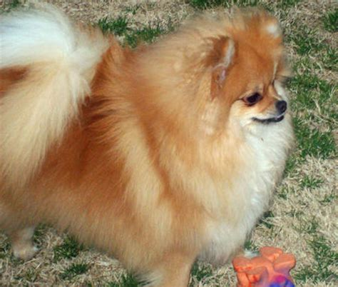 what do pomeranians like trixie the pomeranian dogs daily puppy