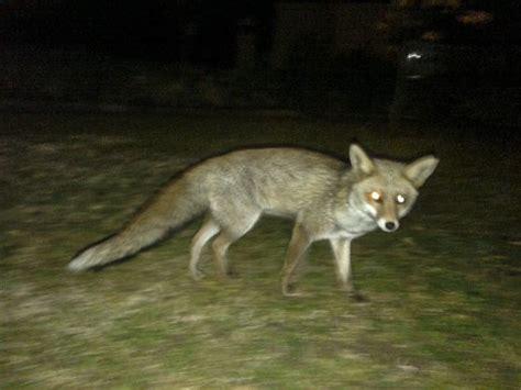imagenes de paisajes con zorros un zorro en el jard 237 n catalu 241 a el pa 205 s