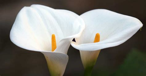 lilies or lillies growing calla lilies tips on calla plant care how to
