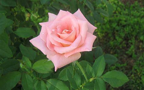 fiore rosa fiori dell amicizia significato fiori