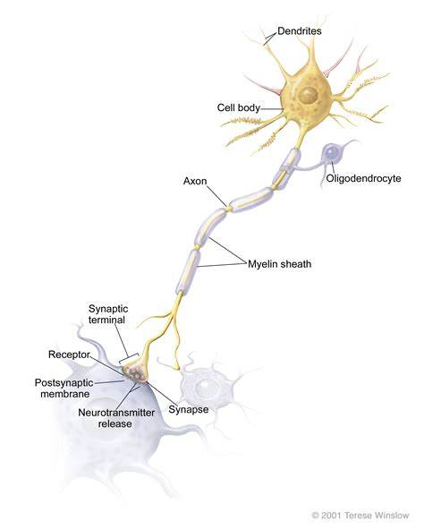 diagram of neurone synaptic terminals national library of medicine pubmed