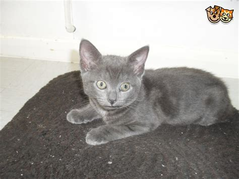 blue kittens for sale russian blue kittens for sale eastbourne east sussex
