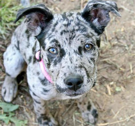 louisiana catahoula leopard louisiana catahoula leopard not in the housenot in the house